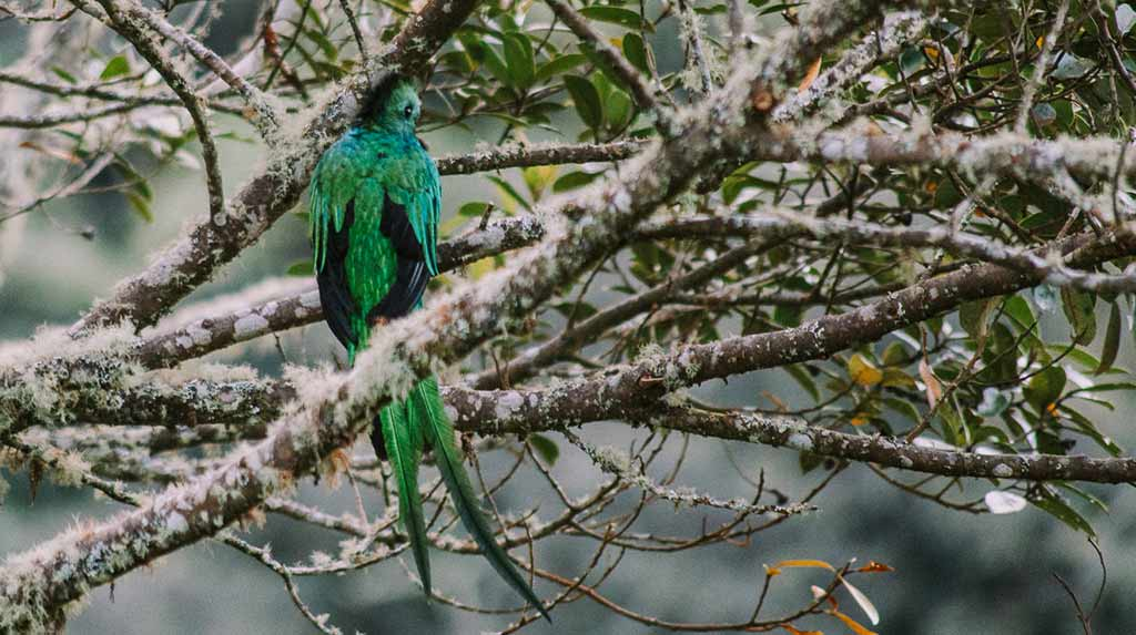 Trogon bird like Quetzal